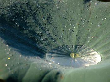 Các sợi lông tơ trên bề mặt lá sen đã giúp nó miễn nhiễm với chất bẩn (Wang Jiayi/The Epoch Times)