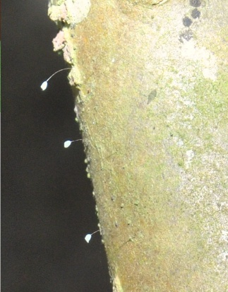 Hoa Ưu Đàm Bà La nở trên thân cây sứ.